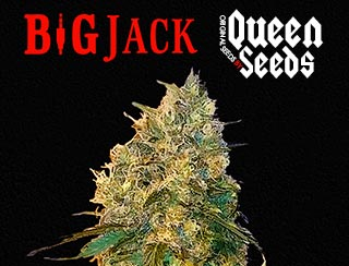 cannabis Queen-seeds Big Jack