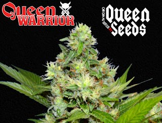Queen warrior de queen seeds