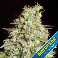 graines de cannabis régulières, féminisées et automatique