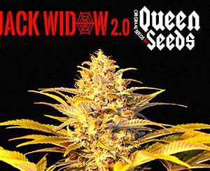 graine de cannabis pas cher queen-seeds