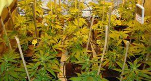 faire pousser du cannabis