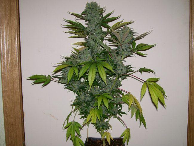 plante a partir des graines cannabis autofloraison