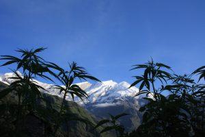 Mélenchon cannabis, ou le seul candidat à vouloir légaliser