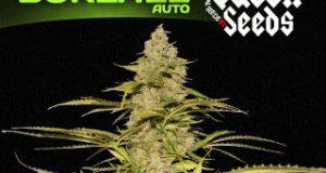 la Graine de cannabis Boréale Auto