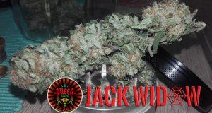 le JDC Queen-Seeds Jack widows