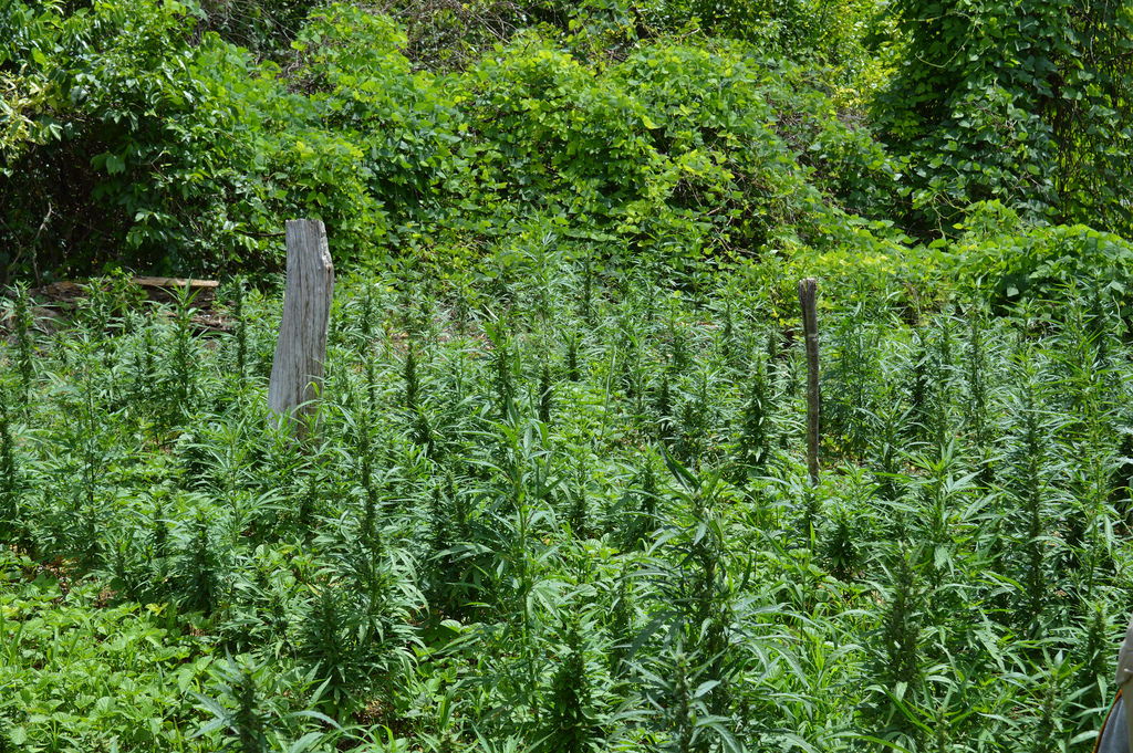 Macron et cannabis, la vente de graines de cannabis n'est pas pour demain