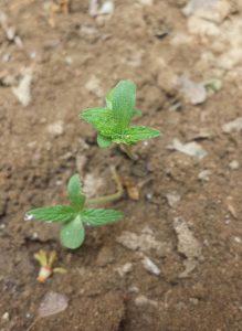 graines de cannabis ne poussent pas , voici pourquoi