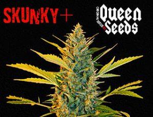 skunky+ de la banque de graines queen seeds est