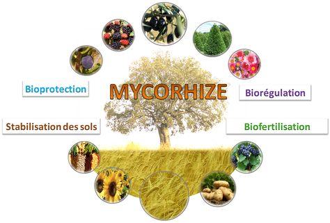 Les champignons mycorhiziens