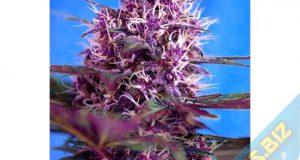têtes de cannabis colorées c'est plus fun