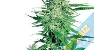 la Big Bud Graines de cannabis féminisés