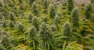 récolter son cannabis